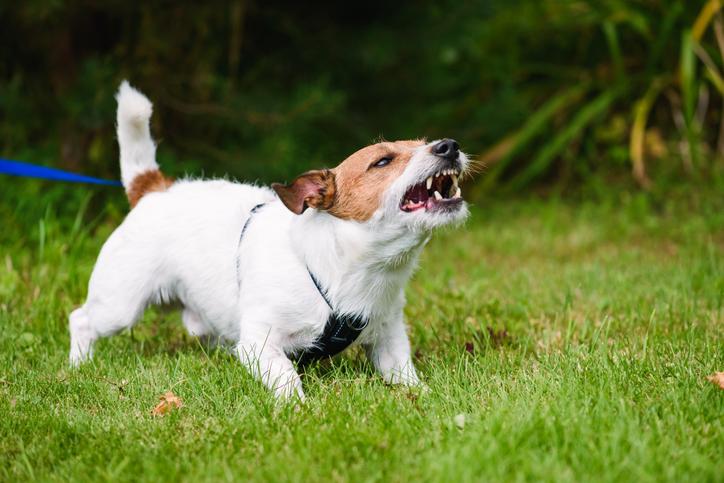 aggressive dog - leash reactive